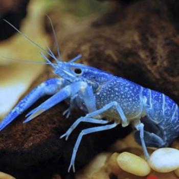 Cherax Azul